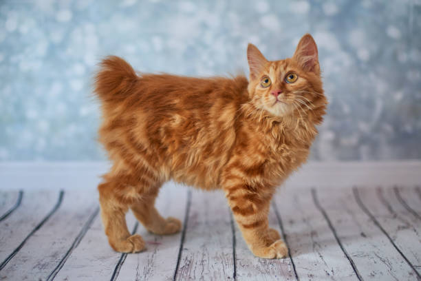 American bobtail cat picture id808977920?b=1&k=6&m=808977920&s=612x612&w=0&h=4qkgrclygebt66gxpogzyg cthyjyies8juhtvcbovu=