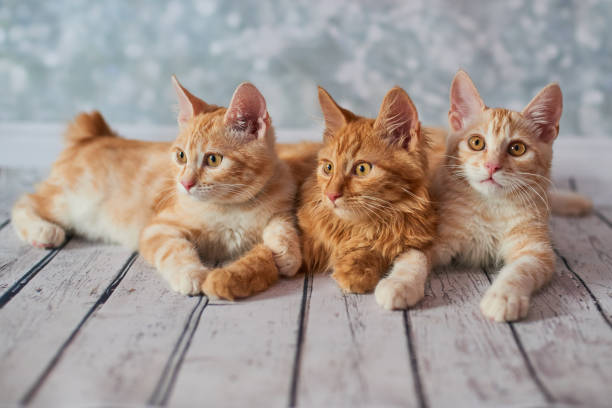 American bobtail cat A photo of funny red american bobtail cats three monthes old on blured background bobtail squid stock pictures, royalty-free photos & images
