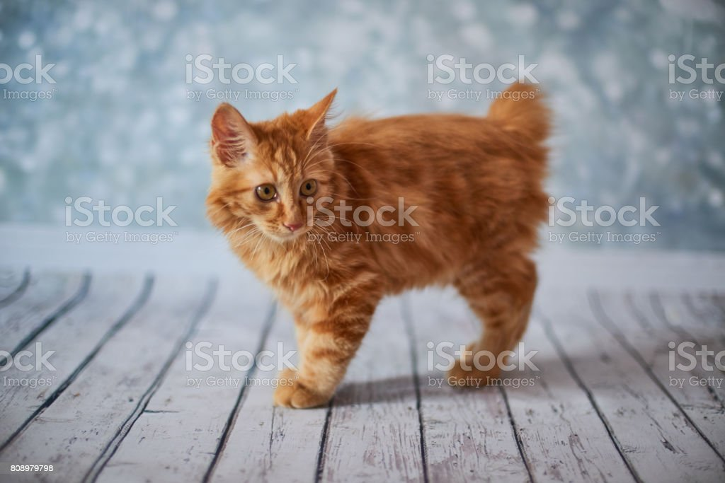 American Bobtail Cat Near Me