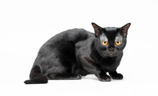 American bombay cat picture id994764486?b=1&k=6&m=994764486&s=612x612&w=0&h=vyouaqlyndaj5tvgzjvrxxjkozmizhy x 41ma3ivze=
