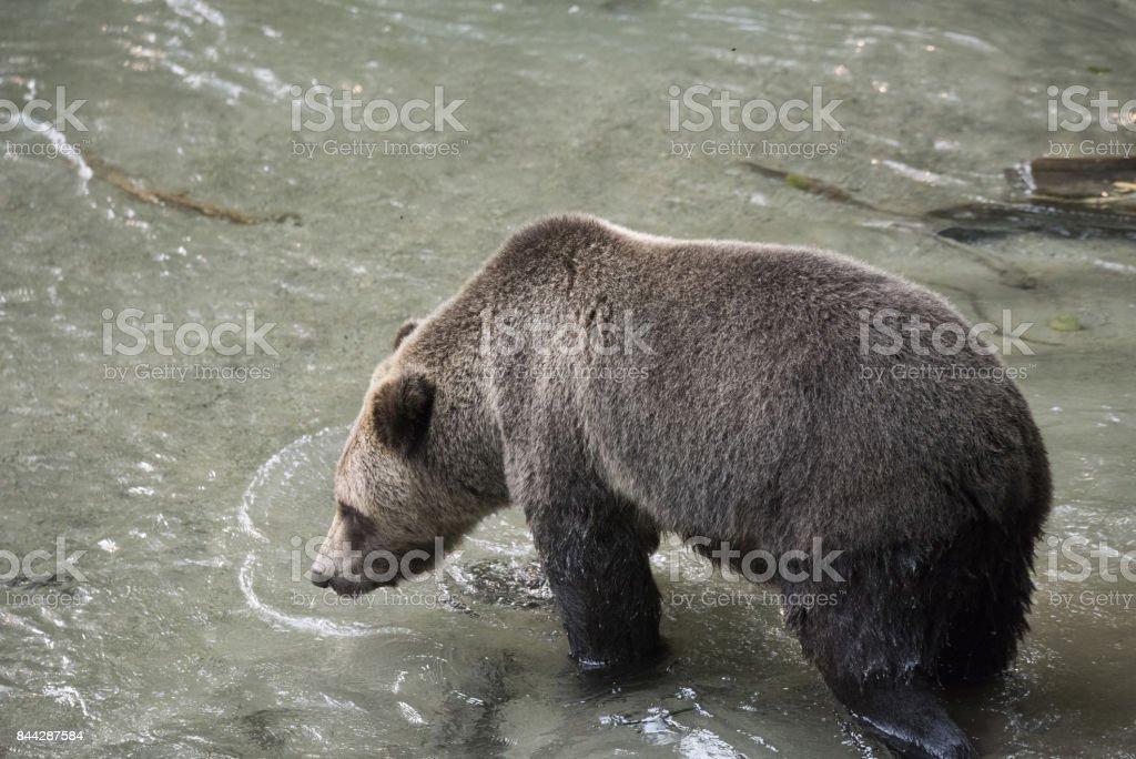 American Brown Bear stock photo