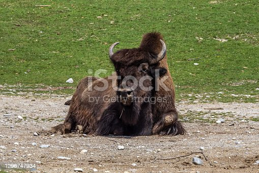 istock American buffalo known as bison, Bos bison in the zoo 1296747934