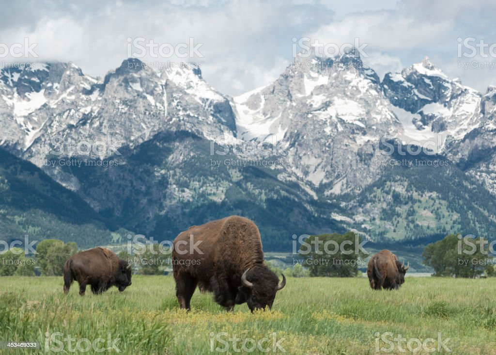 American Buffalo American buffalo or bison grazing on the plains in Grand Teton national park with the mountain range behind. American Bison Stock Photo