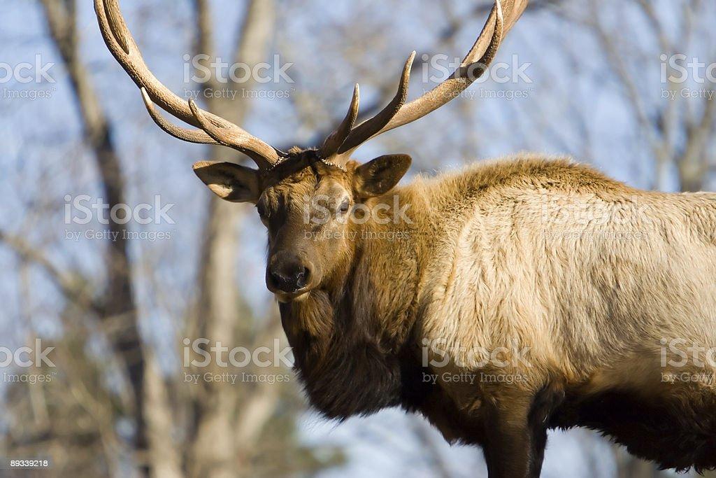 American Bull Elk royalty-free stock photo