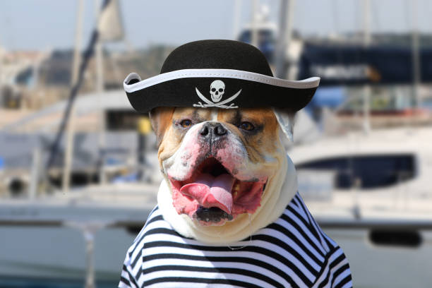 american bulldog dressed in a pirate clothing - pirates stock photos and pictures