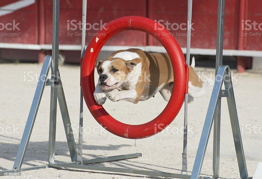 bulldog americano en la agilidad - foto de stock