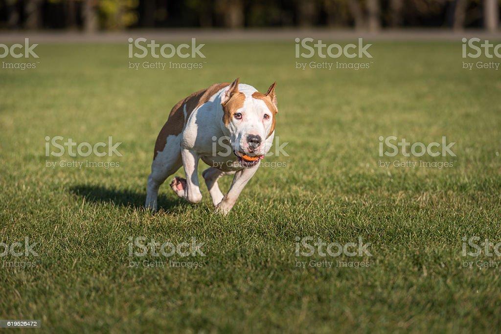 American Bulldog is Running on the Grass. stock photo