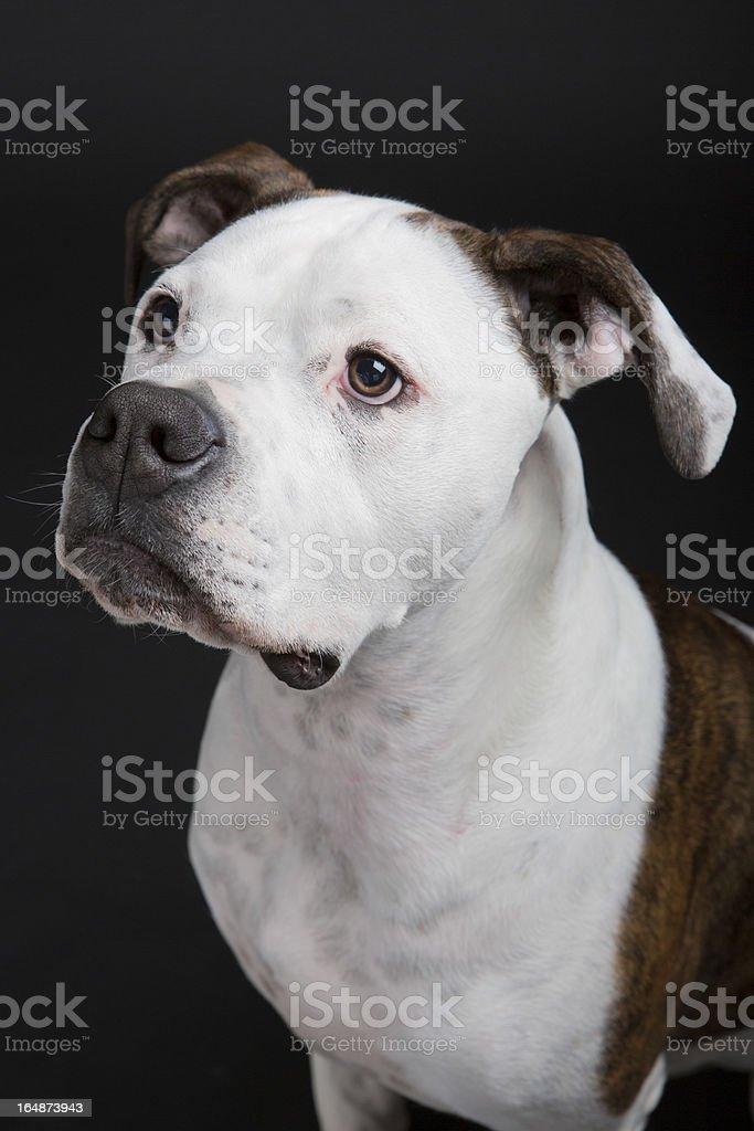 american bulldog royalty-free stock photo
