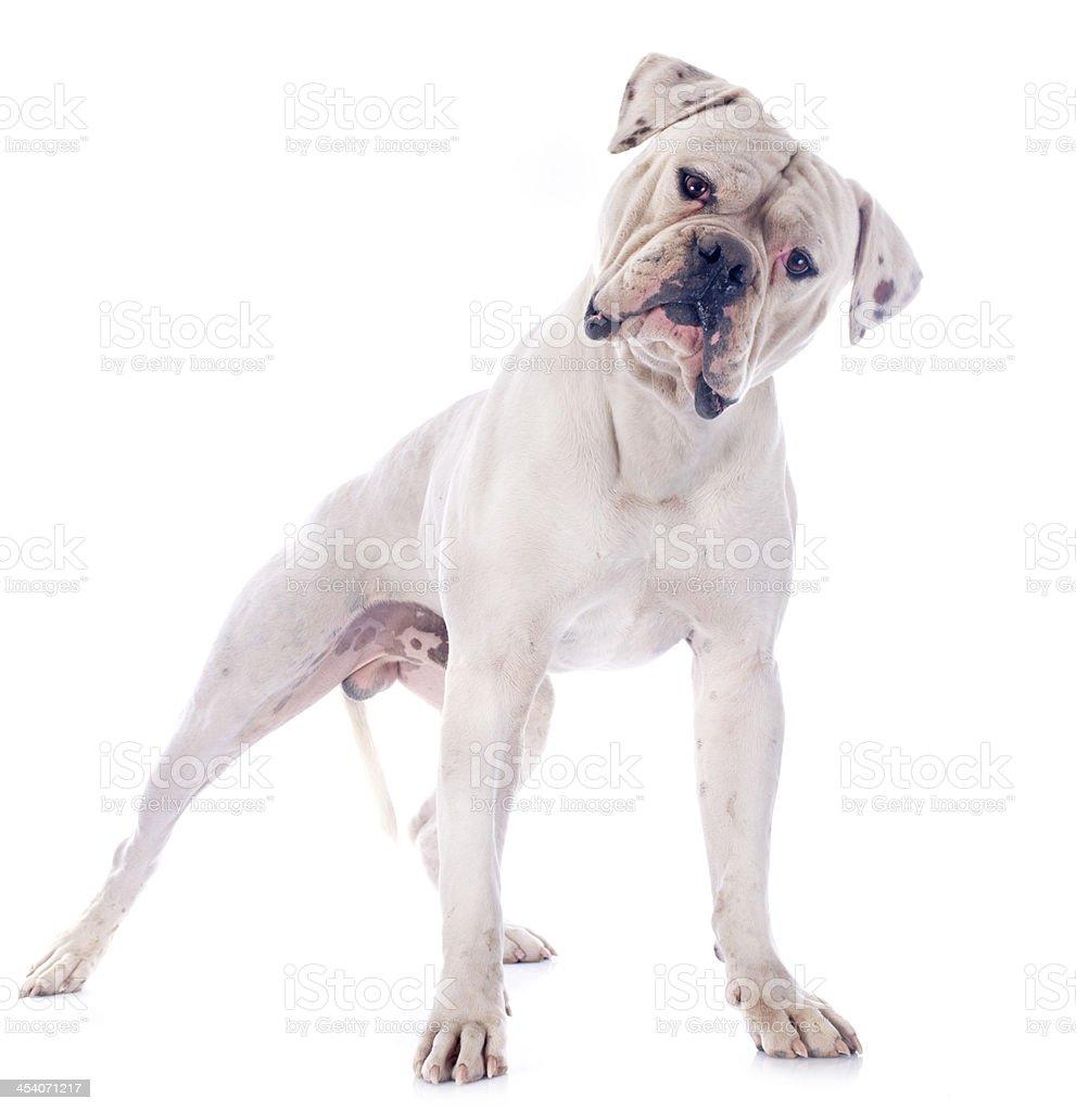 american bulldog stock photo