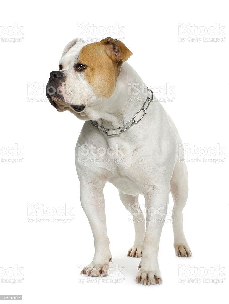 American Bulldog (4 years) royalty-free stock photo