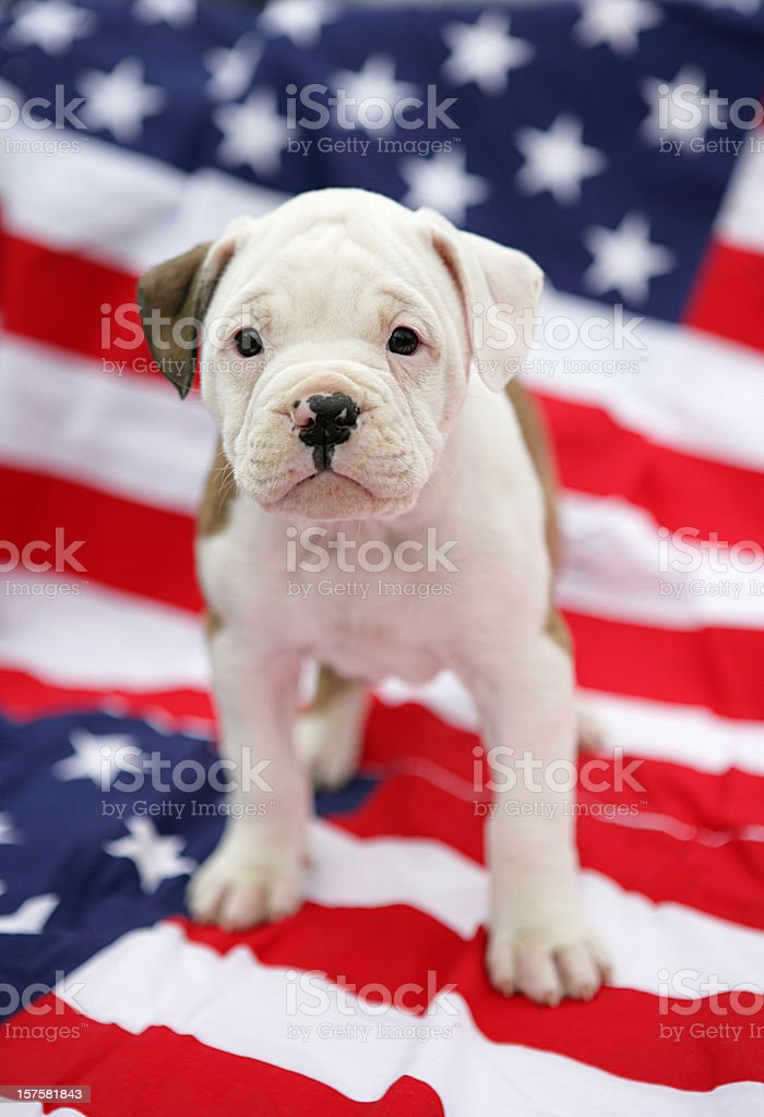 American Bulldog Pup stock photo