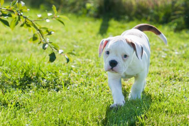 American Bulldog puppy on nature stock photo