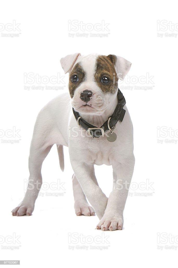 american bulldog puppy stock photo