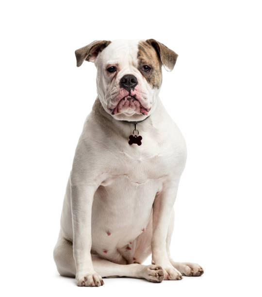 American Bulldog sitting, 1 year old, isolated on white stock photo