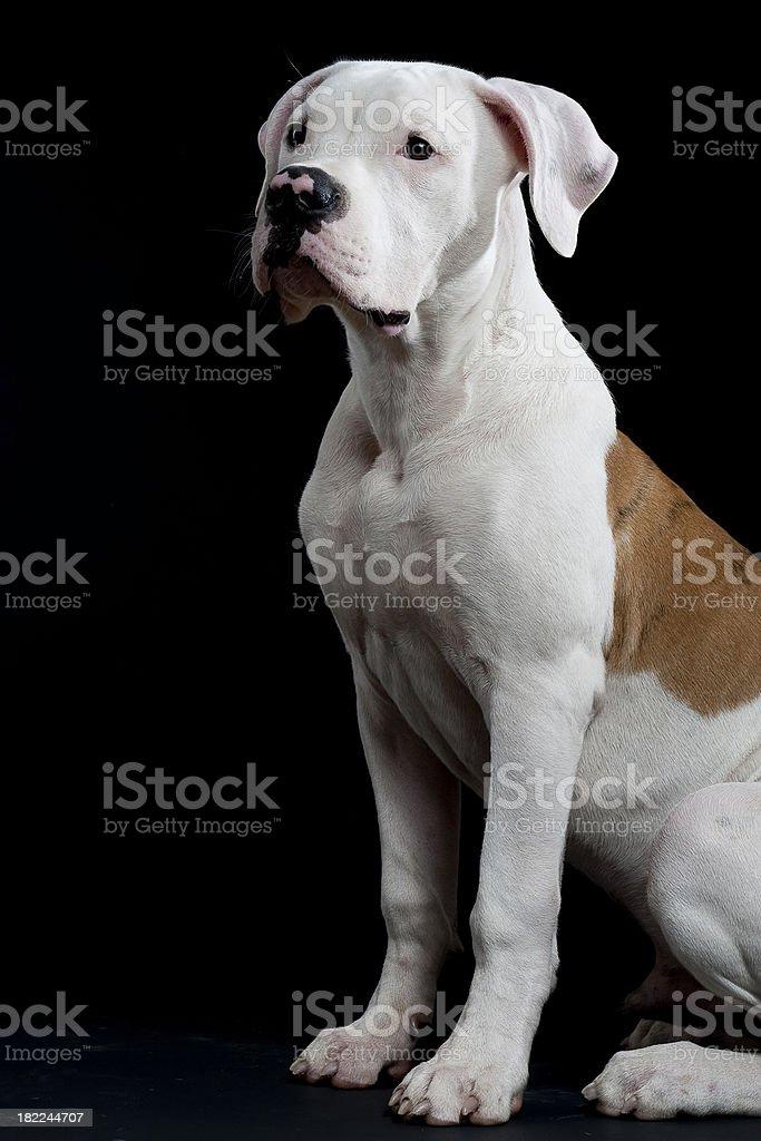 american bulldog sitting 2 royalty-free stock photo
