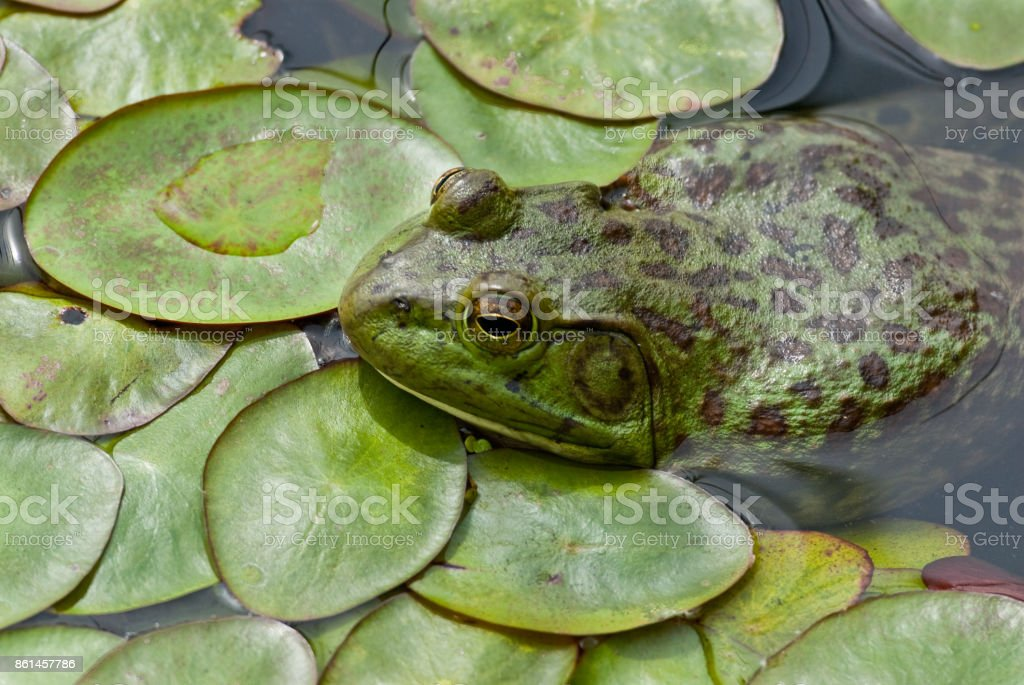American Bullfrog in a Pond stock photo