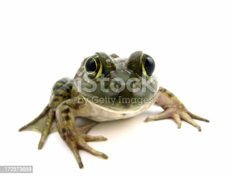 female american bull frog on whitePlease also check out these other frogs