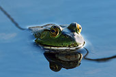 An American Bullfrog sits calmly in the water. The clear water shows a beautiful reflection.