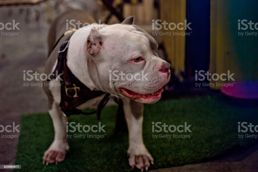 American bully classic breed stock photo