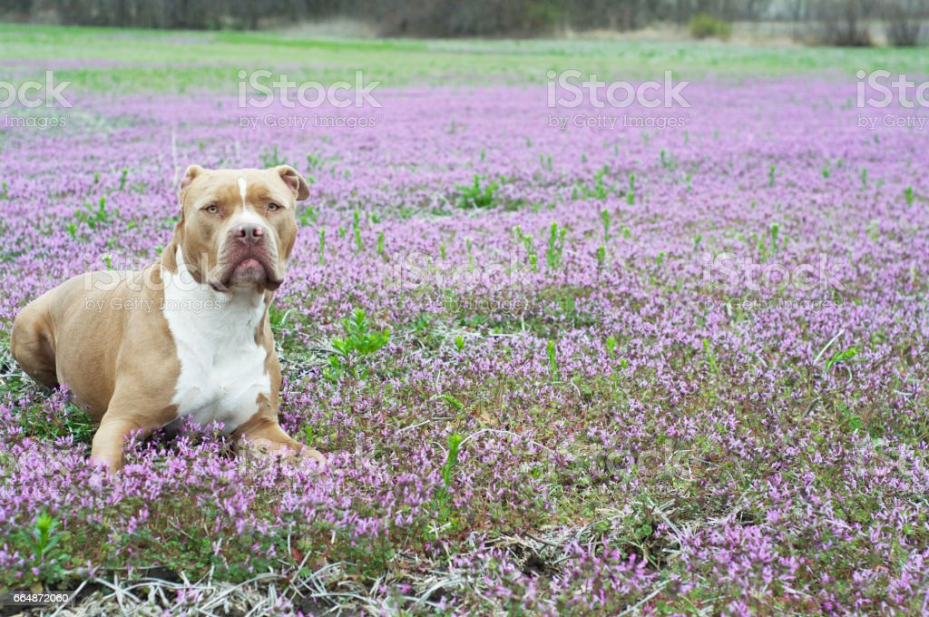 American Bully lays in field of purple flowers. stock photo