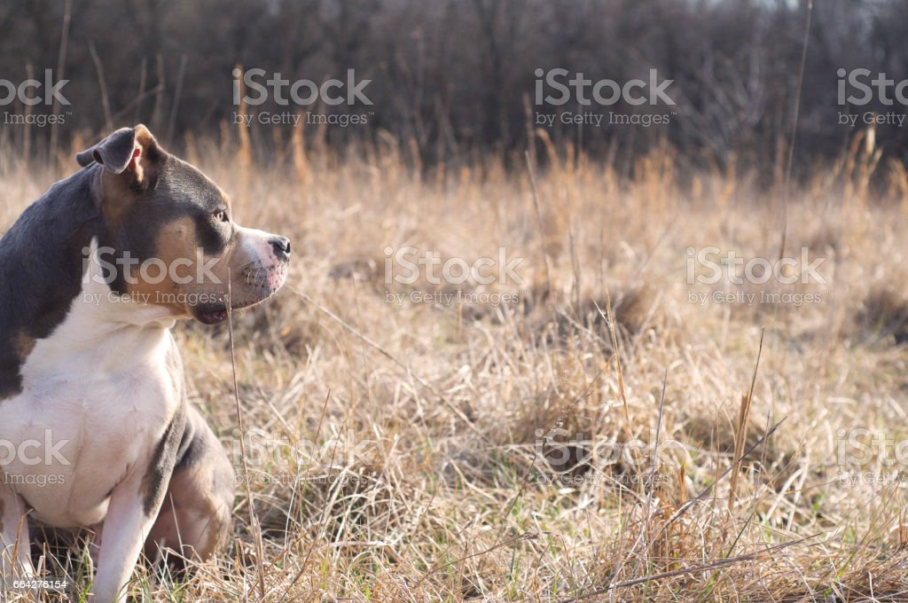 American Bully looks out over dried grassy meadow. stock photo