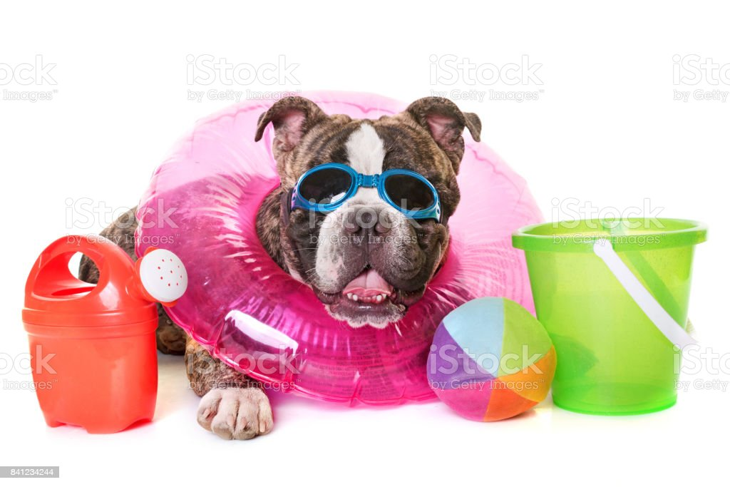 american bully stock photo