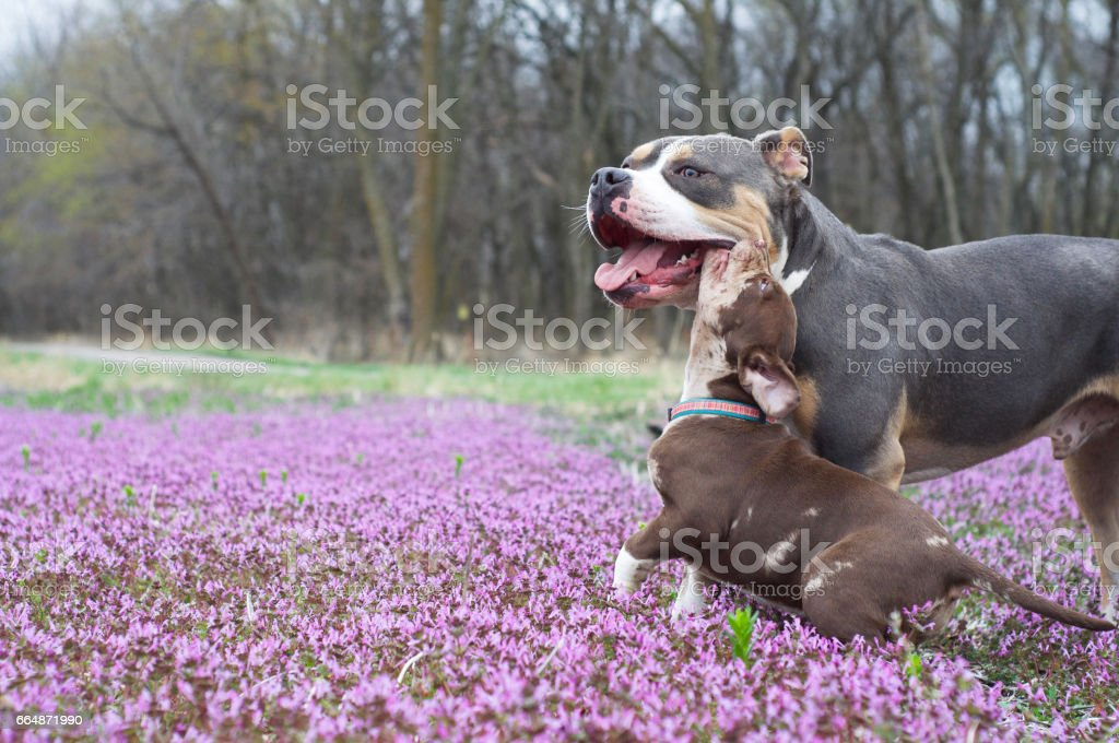 American Bully puppy and brother together in flower field. stock photo