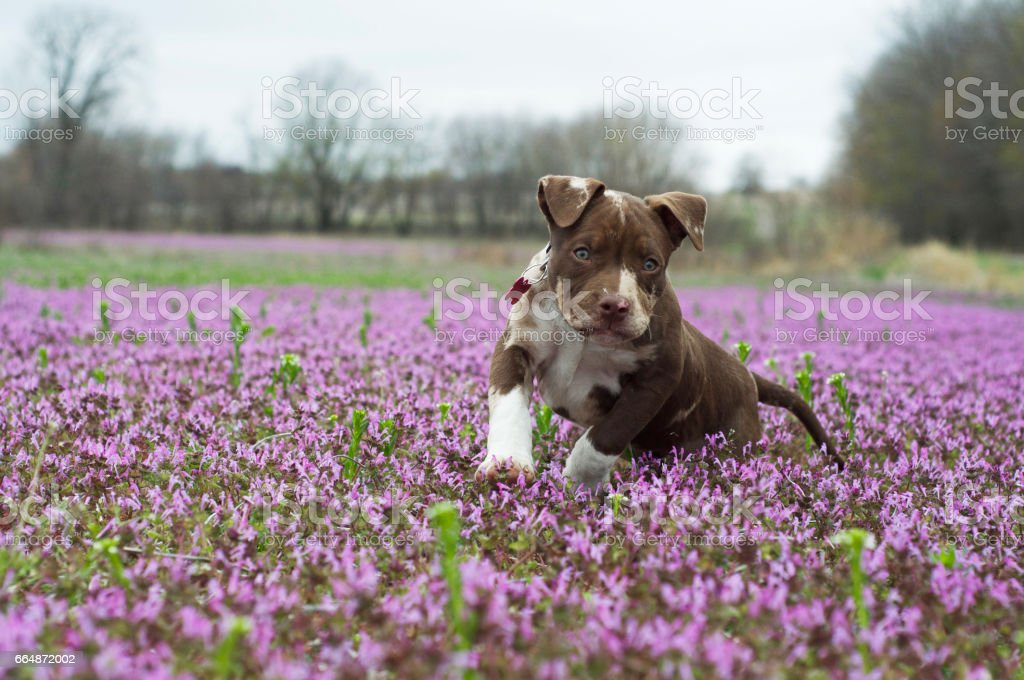 American Bully puppy frolics in purple flower field. stock photo