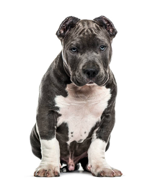 American Bully puppy sitting, isolated on white stock photo