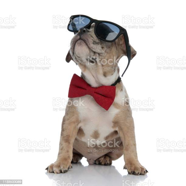 American bully puppy wearing bowtie and sunglasses sitting picture id1133533089?b=1&k=6&m=1133533089&s=612x612&h=cfubblxwbc7vkbmjwqwoh3udzut3w4wwmvuxl1xriau=