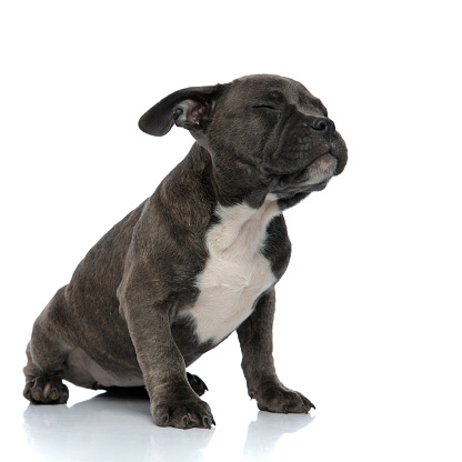 istock american bully sitting with eyes closed 1132025066