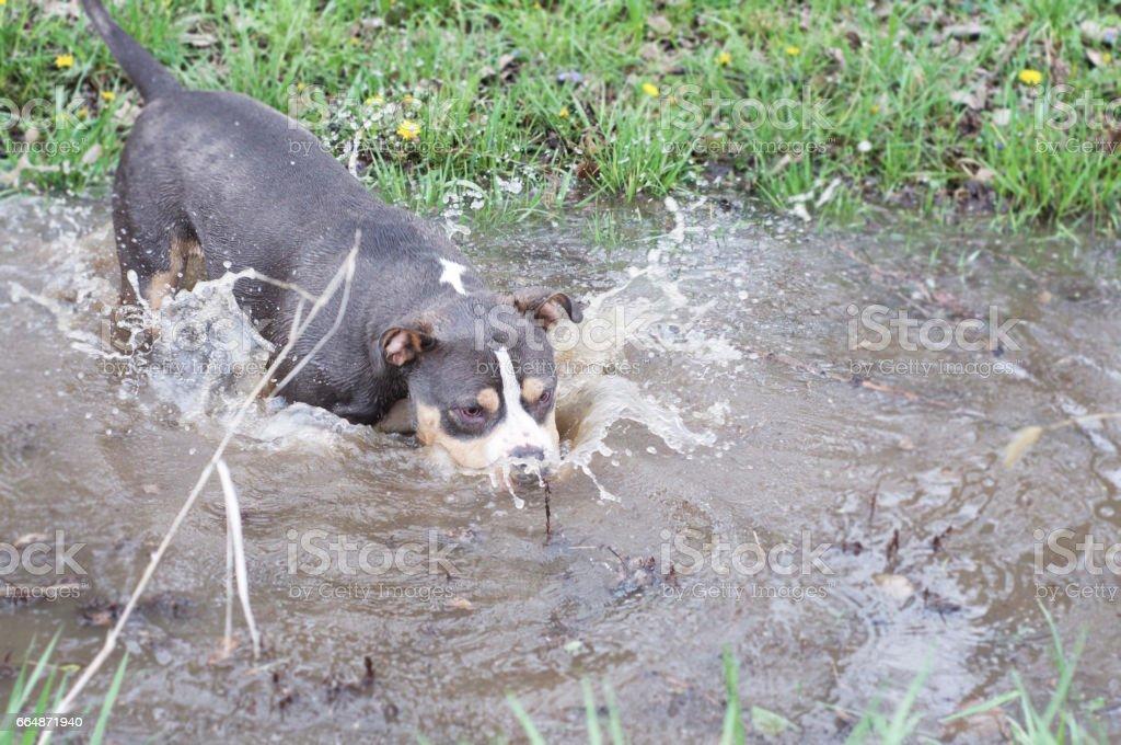 American Bully splashes face into the water. stock photo