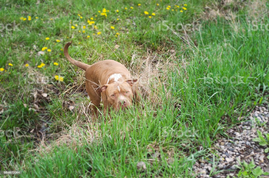 American Bully waiting in grass to pounce on playmate. stock photo