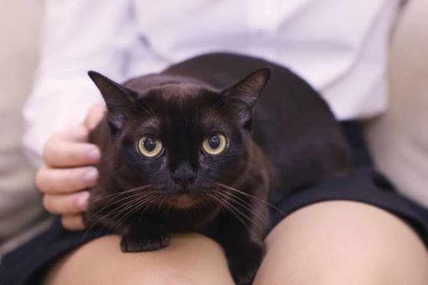 American burmese black cat on human laps picture id846444670?b=1&k=6&m=846444670&s=612x612&w=0&h=tt2xjg pvxs dib3xtbd2oqq5dyxflvpvswwn7j1kwk=