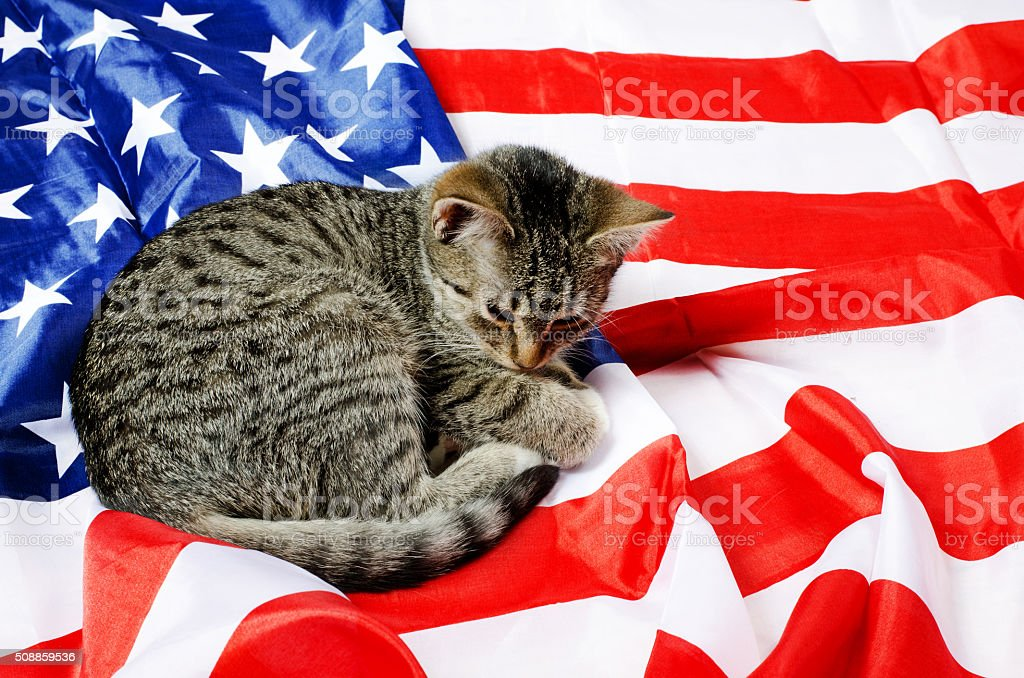 american cat stock photo
