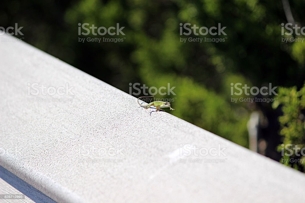American Chameleon runs along railing. stock photo