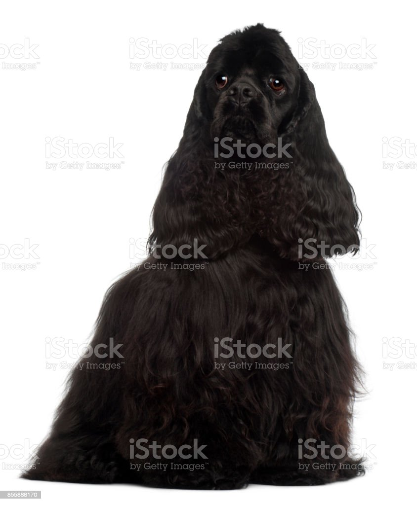 American Cocker Spaniel, 1 year old, sitting in front of white background stock photo