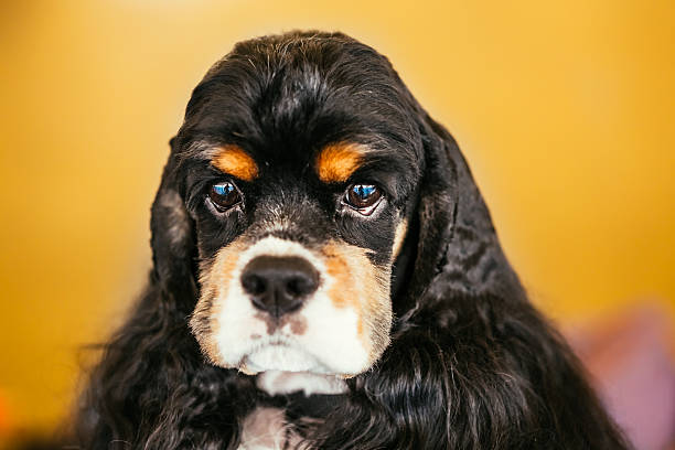 American Cocker Spaniel Dog Close Up Portrait stock photo
