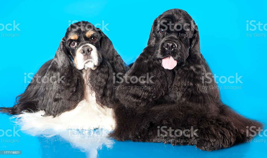 American Cocker Spaniel dog stock photo