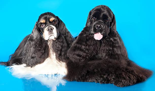 american cocker spaniel hund - amerikanischer cocker spaniel stock-fotos und bilder