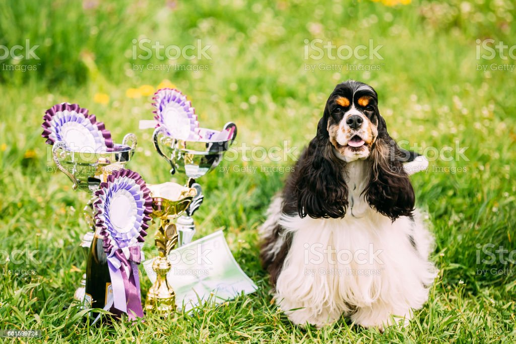 American Cocker Spaniel Dog Sitting On Green Grass Next To Three Cups Of Won At The Dog Show. Sunny Summer Day. Winner Of Dog Show stock photo