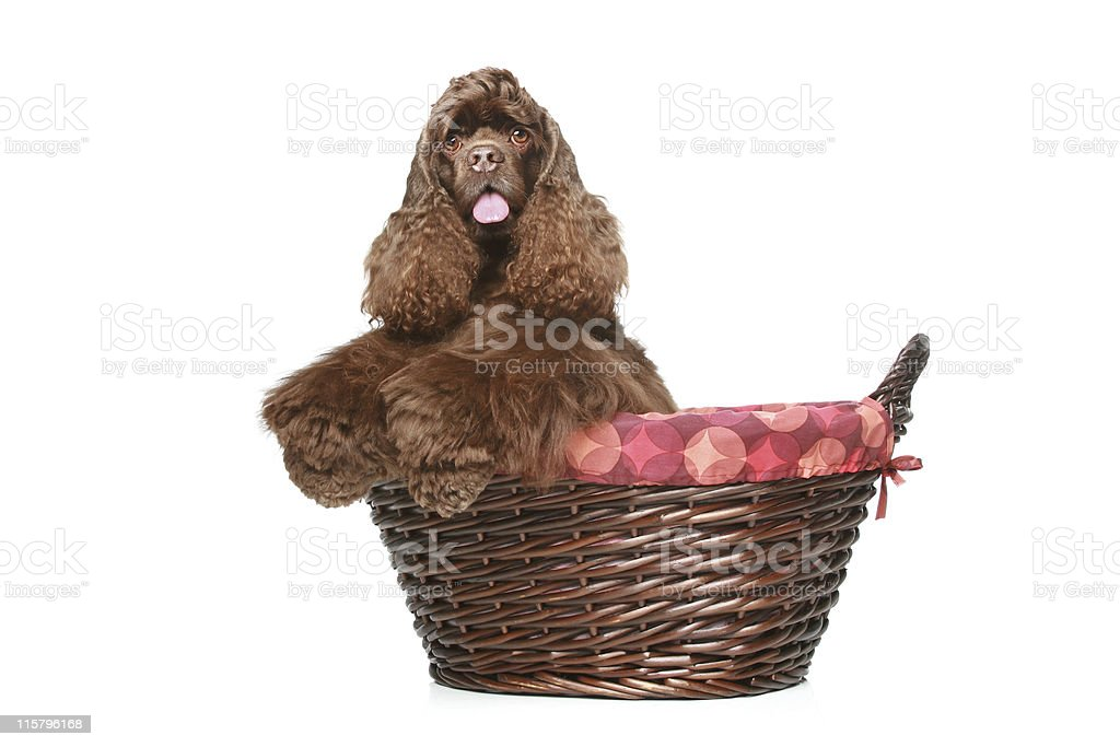 American cocker spaniel in large wicker basket royalty-free stock photo