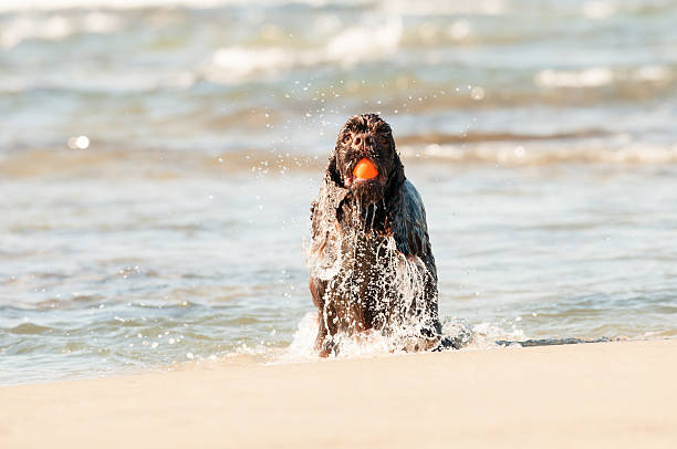 american cocker spaniel playing in the beach stock photo