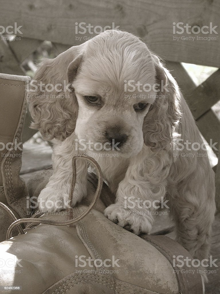 American Cocker Spaniel puppy on boots royalty-free stock photo