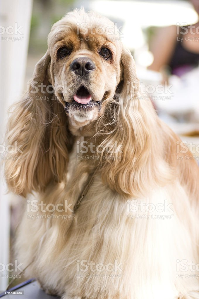American Cocker Spaniel sitting in front stock photo