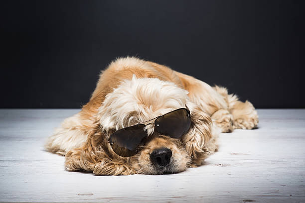American cocker spaniel With Sunglasses stock photo