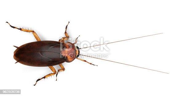 American cockroach Periplaneta americana