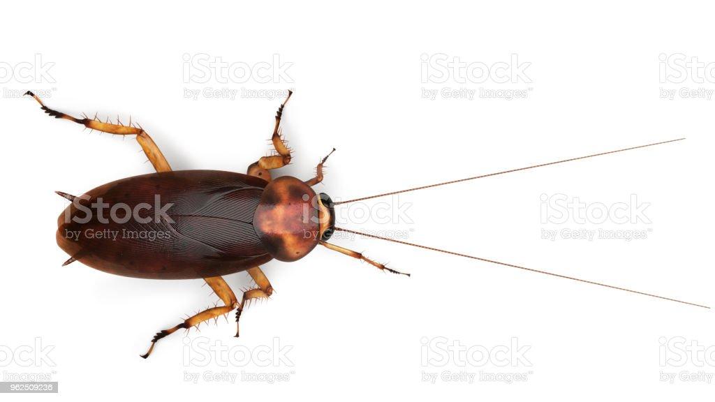 American cockroach Periplaneta americana - foto stock