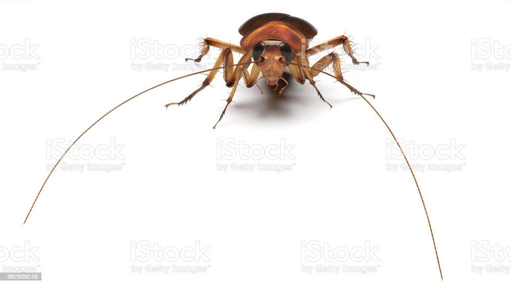 American cockroach Periplaneta americana - Royalty-free American Cockroach Stock Photo