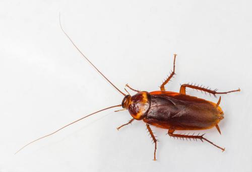 Foto de Barata Americana e mais fotos de stock de Antena - Parte do corpo animal